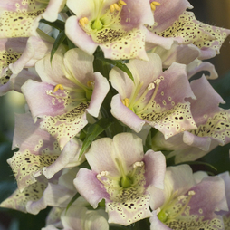 Foxglove 'Candy Mountain Peach'