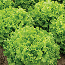 Lettuce 'Lettony' (Batavian)