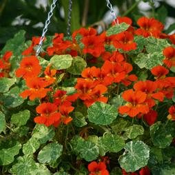 Nasturtium majus 'Orange Troika'