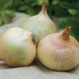 Onion 'Doux des Cevennes'