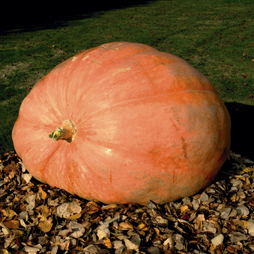 Pumpkin 'Paton Twins Giant'
