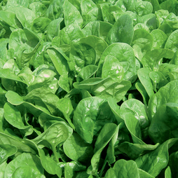 Spinach 'Apollo'