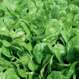 Spinach 'Apollo'