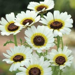 Chrysanthemum carinatum 'Polar Star'