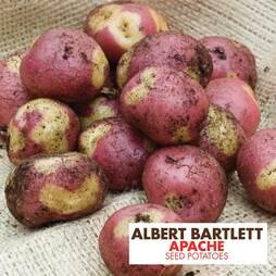 Potato 'Apache'