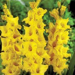 Gladiolus 'Limoncello'