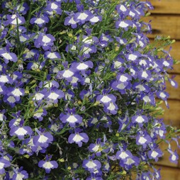 Lobelia erinus 'Waterfall Blue Ice'