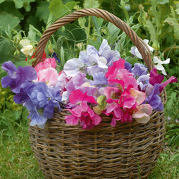 Sweet Pea 'Sweet Dreams'