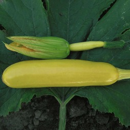 Courgette 'Soleil' F1 Hybrid - RHS endorsed vegetable seeds