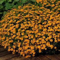 Marigold 'Golden Gem'