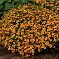 Marigold 'Golden Gem'