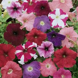 Petunia 'Colour Parade' F1 Hybrid