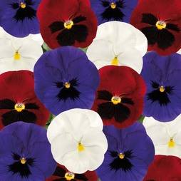 Pansy 'Matrix Union Jack Mixed'