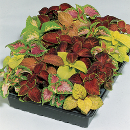 Coleus 'Wizard Mixed'