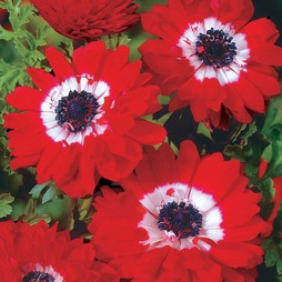 Anemone coronaria 'The Governor'