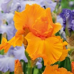 Iris 'Orange Harvest' (Re-Blooming)