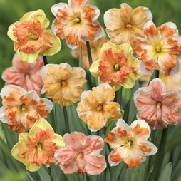 Narcissus 'Rainbow Butterflies Mixed'