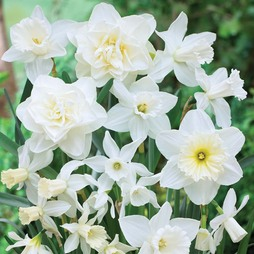 Narcissus 'White Diamonds Mixture'