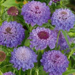 Scabious 'Blue Jeans' (Garden Ready)