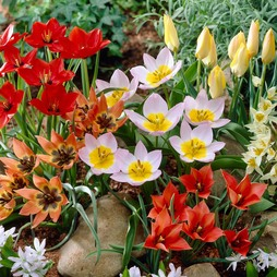 Tulip 'Ground Cover' Mix