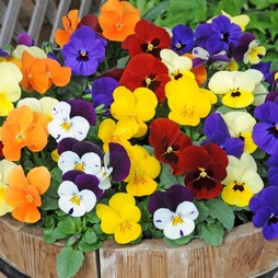 Viola 'Most Scented' Mix