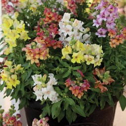 Antirrhinum majus 'Reminiscent Mixed' F1 Hybrid