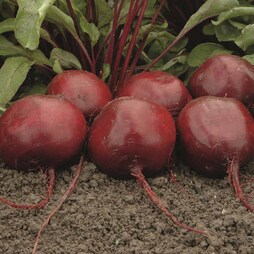 Beetroot 'Moneta'