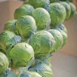 Brussels Sprout 'Brilliant' F1 Hybrid