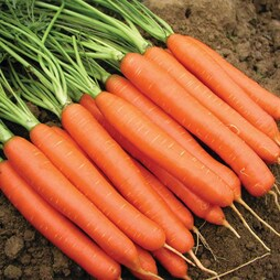 Carrot 'Romance' F1 Hybrid