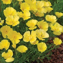 Californian Poppy 'Butter Bush'