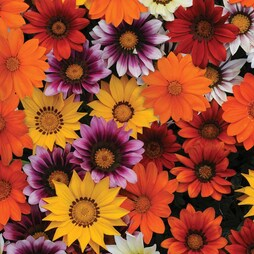 Gazania splendens 'New Day Mix' F1 Hybrid