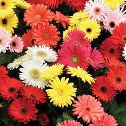 Gerbera jamesonii 'T&M Mixed' F2 Hybrid