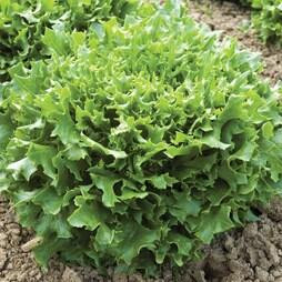 Lettuce 'Mazur' (Loose-Leaf)