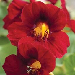 Nasturtium 'Crimson Emperor'