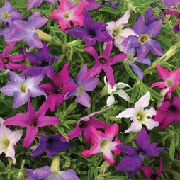 Petunia x hybrida 'Sparklers'