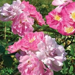 Rose multiflora nana perpetua 'Garden Party' (Miniature Rose)