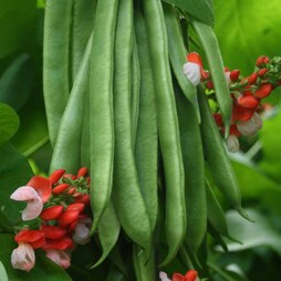 Runner Bean 'Tenderstar'