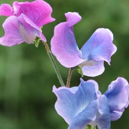 Sweet Pea 'Blue Shift'