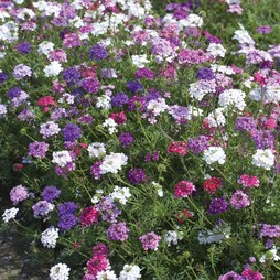 Verbena tenuisecta 'Desert Jewels Mixed'