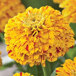 Zinnia elegans 'Pop Art Golden & Red'