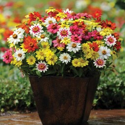 Zinnia marylandica 'Zahara Mixed'