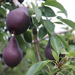Pear 'Red William'