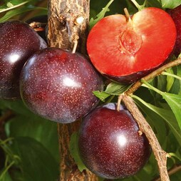 Pluot 'Purple Candy'®