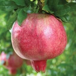 Pomegranate 'Provence'
