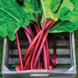 Rhubarb 'Raspberry Red' (Autumn Planting)