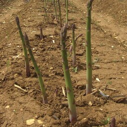 Asparagus officinalis 'Connover's Colossal' (Spring/Autumn Planting)