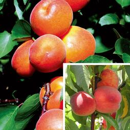 Stone Fruit Collection