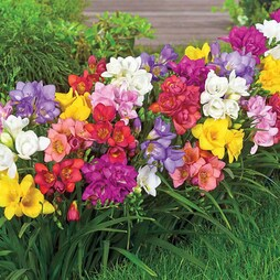 Freesia 'Premium Collection'