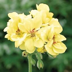 Geranium 'Custard Cream'