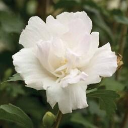 Hibiscus syriacus 'Mint Cream'